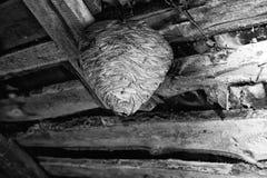 Jerarquía grande de la avispa en el ático de un cierre de la casa de campo para arriba Fotos de archivo