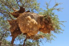 Jerarquía grande, Kalahari Imagen de archivo