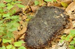 Jerarquía muerta de la abeja que cae en la tierra en bosque Fotografía de archivo libre de regalías