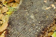 Jerarquía muerta de la abeja que cae en la tierra en bosque Imagenes de archivo
