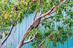 Jerarquía salvaje de las abejas en un tronco del abedul Imagenes de archivo