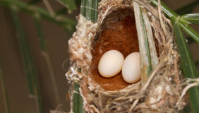 Jerarquía y huevo del pájaro Imagen de archivo libre de regalías