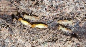 Jerarquías de la termita Imagen de archivo