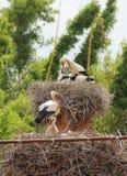 Jerarquías de las cigüeñas blancas Foto de archivo libre de regalías