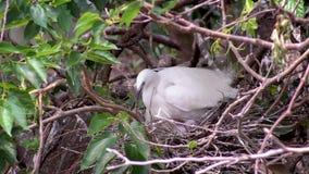 Jerarquización blanca de Garzetta del Egretta del pájaro de la cámara lenta y cuidar los polluelos en árbol almacen de video