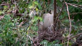 Jerarquización blanca de Garzetta del Egretta del pájaro de la cámara lenta y cuidar los polluelos en árbol metrajes