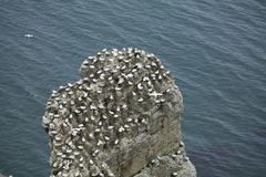 Jerarquización de Gannet en un afloramiento de la roca sobre el Mar del Norte cerca de Bem imagen de archivo