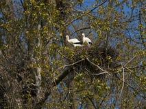 Jerarquización del ciconia del Ciconia de la cigüeña blanca Foto de archivo libre de regalías