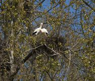 Jerarquización del ciconia del Ciconia de la cigüeña blanca Fotografía de archivo libre de regalías