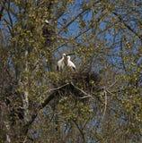 Jerarquización del ciconia del Ciconia de la cigüeña blanca Imagen de archivo libre de regalías