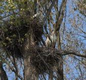 Jerarquización del ciconia del Ciconia de la cigüeña blanca Imagen de archivo