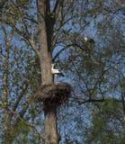 Jerarquización del ciconia del Ciconia de la cigüeña blanca Fotos de archivo