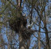 Jerarquización del ciconia del Ciconia de la cigüeña blanca Fotografía de archivo