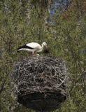 Jerarquización del ciconia del Ciconia de la cigüeña blanca Imagenes de archivo