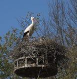 Jerarquización del ciconia del Ciconia de la cigüeña blanca Foto de archivo