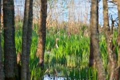 Jerarquización del ganso de ganso silvestre Foto de archivo libre de regalías