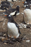 Jerarquización del pingüino de Gentoo - Falkland Islands Foto de archivo