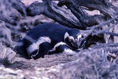 Jerarquización del pingüino de Magellanic en la península Valdes - la Argentina Imágenes de archivo libres de regalías