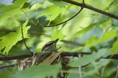 Jerarquización Eyed roja de un especie de ave Fotos de archivo