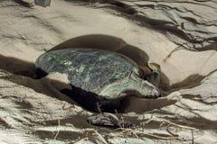 Jerarquización de la tortuga Imágenes de archivo libres de regalías