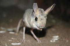 Jerboa Royalty Free Stock Photography