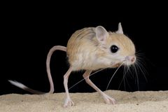 Jerboa. The jerboa / Jaculus jaculus is an desert inhabitant from North Africa Royalty Free Stock Photo