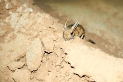 Jerboa / Jaculus. The jerboa are a steppe animal and lead a nocturnal life. Stock Photography