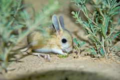 Jerboa / Jaculus. The jerboa are a steppe animal and lead a nocturnal life. Jerboas are hopping desert rodents found throughout Northern Africa and Asia east to royalty free stock photo