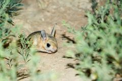 Jerboa / Jaculus. The jerboa are a steppe animal and lead a nocturnal life. Jerboas are hopping desert rodents found throughout Northern Africa and Asia east to stock photos