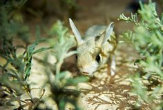 Jerboa / Jaculus. The jerboa are a steppe animal and lead a nocturnal life. Jerboas are hopping desert rodents found throughout Northern Africa and Asia east to royalty free stock photography