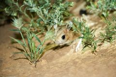 Jerboa / Jaculus. The jerboa are a steppe animal and lead a nocturnal life. Jerboas are hopping desert rodents found throughout Northern Africa and Asia east to stock images
