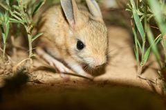 Jerboa / Jaculus. The jerboa are a steppe animal and lead a nocturnal life. Jerboas are hopping desert rodents found throughout Northern Africa and Asia east to royalty free stock photos