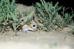 Jerboa / Jaculus. The jerboa are a steppe animal and lead a nocturnal life. Stock Photos
