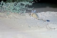 Jerboa / Jaculus. The jerboa are a steppe animal and lead a nocturnal life. Royalty Free Stock Photo