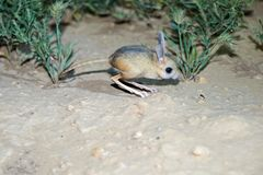 Jerboa / Jaculus. The jerboa are a steppe animal and lead a nocturnal life. Royalty Free Stock Images