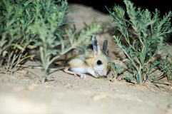 Jerboa / Jaculus. The jerboa are a steppe animal and lead a nocturnal life. Royalty Free Stock Photography