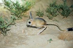 Jerboa / Jaculus. The jerboa are a steppe animal and lead a nocturnal life. Jerboas are hopping desert rodents found throughout Northern Africa and Asia east to stock photo