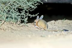 Jerboa / Jaculus. The jerboa are a steppe animal and lead a nocturnal life. Stock Images
