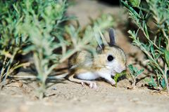 Jerboa / Jaculus. The jerboa are a steppe animal and lead a nocturnal life. Jerboas are hopping desert rodents found throughout Northern Africa and Asia east to stock image