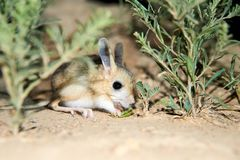 Jerboa / Jaculus. The jerboa are a steppe animal and lead a nocturnal life. Jerboas are hopping desert rodents found throughout Northern Africa and Asia east to stock photography
