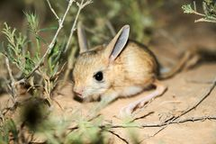 Jerboa / Jaculus. The jerboa are a steppe animal and lead a nocturnal life. Jerboas are hopping desert rodents found throughout Northern Africa and Asia east to royalty free stock images