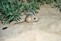 Jerboa / Jaculus. The jerboa are a steppe animal and lead a nocturnal life. Stock Image