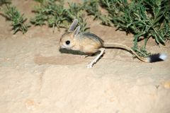 Jerboa / Jaculus. The jerboa are a steppe animal and lead a nocturnal life. Stock Photo