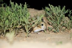 Jerboa / Jaculus. The jerboa are a steppe animal and lead a nocturnal life. Royalty Free Stock Photos
