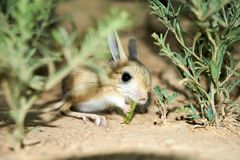 Jerboa / Jaculus. The jerboa are a steppe animal and lead a nocturnal life. Jerboas are hopping desert rodents found throughout Northern Africa and Asia east to royalty free stock image