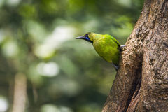Jerdon`s Leafbird in Minneriya national park, Sri Lanka Stock Photo