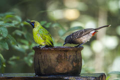 Jerdon`s Leafbird and Red-vented bulbul in Minneriya national pa Royalty Free Stock Images