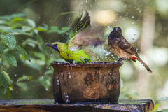 Jerdon`s Leafbird and Red-vented bulbul in Minneriya national pa Royalty Free Stock Photography