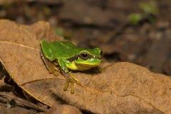 Jerdon`s tree frog, Hyla annectans, Kivikhu. Nagaland India Royalty Free Stock Images