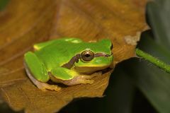 Jerdon`s tree frog, Hyla annectans, Kivikhu. Nagaland India stock photography